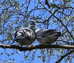 Lovestruck (Katy Wrathall) Tags: garden avian spring woodpigeon england eastyorkshire bird 101365 2019pad 2019 eastriding april
