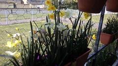 Mini-Daffs flowering in trough on balcony railings 13th April 2019 001 (D@viD_2.011) Tags: minidaffs flowering trough balcony railings 13th april 2019