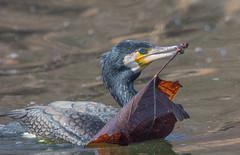 Phalacrocorax carbo (Torok_Bea) Tags: phalacrocoraxcarbo kárókatona kormoran kormorán tamron150600 tamron nikon nikond7200 natur nature beautiful bird wild wildanimal wonderful