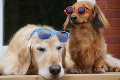 Sunny 15/52 (Lianne (calobs)) Tags: 52 weeks for dogs goldenretriever miniature dachshund
