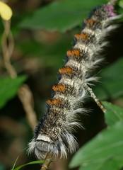 Toothed Cream Spot Moth (Catalebeda cuneilinea) hairy caterpillar ... (berniedup) Tags: toothedcreamspotmoth catalebedacuneilinea hairy caterpillar moth taxonomy:binomial=catalebedacuneilinea lasiocampidae gwalagwalatrail stlucia