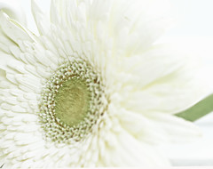 Quietness (Chandana Witharanage) Tags: srilanka southasia macromondays macrophotography whiteonwhite gerbera tabletop quietness canon7dcamera ef100mmf28lmacroisusm photographybychandanawitharanage