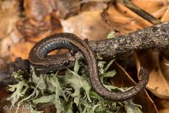 Black-bellied Slender Salamander (Batrachoseps nigriventris) (aliceinwl1) Tags: amphibia amphibian batrachoseps batrachosepsnigriventris blackbelliedslendersalamander ca california caudata chordata plethodontidae santabarbaracounty herp locnoone lunglesssalamander nigriventris salamander slendersalamander viseveryone
