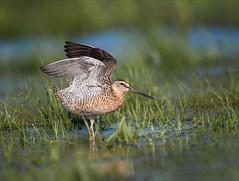 Test Flight (Kathy Macpherson Baca) Tags: bird aves dowitcher shorebird marsh fly earth migrate planet wading estuary nest world wildlife shore