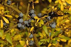 Mature blackthorn berries - Reife Schlehen (Manfred_H.) Tags: nature seasons autumn herbst beeren schlehen berries blackthorn