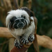 Cotton-top tamarin - Toni's Zoo