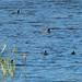 Maccoa Duck - Manguo Pond - Kenya CD5A9421