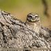 Spotted Owlet (Athene brama)
