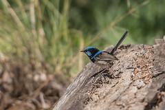 _D509094 (crispiks) Tags: wonga wetlands albury new south wales nikon d500 70200 f28 birdlife