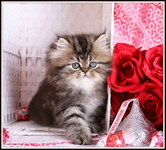 Happy Valentine's Day! (dollfacepersiankittens.com) Tags: valentine valentines day dollfacepersiankittens persian kittens for sale cutekittenpictures cutecatpictures cutekittens cutecats catsofinstagram catpictures cattery breeders persians felines animals pets