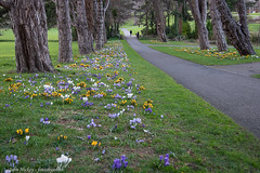 Crocuses - DSC_0727 [Flickr Explore - 17th February 2019] (John Hickey - fotosbyjohnh) Tags: 2019 cabinteelypark flowers nature crocuses flowerdisplay flower pathway trees dunlaoghairerathdowncouncil dublin ireland publicpark springflowers flickrexplore nikon nikond750