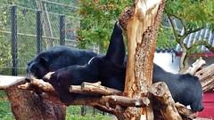Pairi Daiza (62) (Johnny Cooman) Tags: brugelettecambroncasteau wallonie belgië bel animal dieren natuur ベルギー aaa panasonicdmcfz200 henegouwen hainaut belgium bélgica belgique belgien belgia zoo