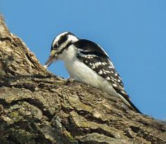 Hairy Woodpecker - female (mahar15) Tags: woodpecker birds outdoors wildlife nature femalehairywoodpecker femalewoodpecker hairywoodpecker