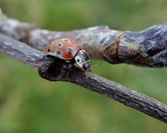 Anatis ocellata (rockwolf) Tags: anatisocellata eyedladybird coccinellidae coleoptera coccinelle coccinelleàocelles beetle insect ladybird woodlane shropshire rockwolf