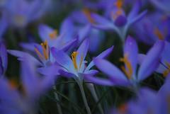 springtime (hub en gerie) Tags: platinumheartaward crocus spring blue flowers nature garden yellow stamen meeldraad geel blauw lilac tuin lente lila