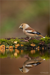 Reflection of a female Hawfinch (Gertj123) Tags: animal bokeh bird water reflection wildlife winter netherlands nature holterberg hide arjantroost avian moss canon