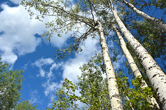 Birch Sky (NaturalLight) Tags: birch trees clouds twinfallsrecreationarea canada