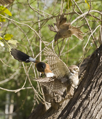 A roufus treepie attacking an owl (Blue wing photography) Tags: treepie nature natureshot owl athenebrama jungle birds babbler
