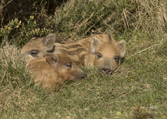 Wild Boar piglets (Ian howells wildlife photography) Tags: ianhowells ianhowellswildlifephotography nature naturephotography nationalgeographic boar canon canonuk springwatch wildlife wildlifephotography wild pig humbug