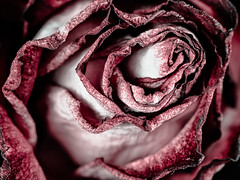 Rose (donnicky) Tags: background blooming closeup diagonal fillingtheframe flower flowerhead goldenratio indoors macro nature nopeople petal plant publicsec red rose wallpaper white d850
