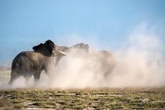 Fight for Dominance (helenehoffman) Tags: africa kenya amboselinationalpark fight bull tusker animal africanbushelephant elephant loxodontaafricana