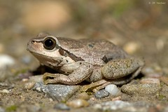 Hyla arborea (jp vacher) Tags: anura amphibia frogs herpetology herpetologie hylidae hyla europeantreefrog laubfrosch