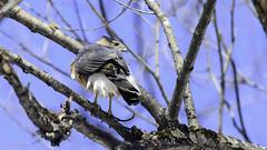 Épervier de Cooper /Cooper's Hawk (richard.hebert68) Tags: nikon z7 300mmf4pf bleu ciel arbre forêts domainemaizerets québec canada
