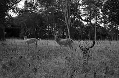 hunt.me.down. (Lívia.Monteiro) Tags: phoenix park animals deer grass viagem turismo cervos ireland irlanda dublin holiday trip vacation pb livre natureza