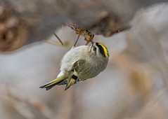 Golden-crowned Kinglet, Greenway Park (frank.king2014) Tags: goldencrownedkinglet