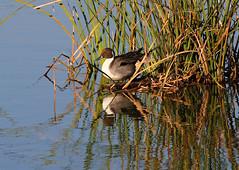 Northern Pintail (Wild Chroma) Tags: anas acuta anasacuta duck birds nonpasserines portugal ludo riaformosa faro