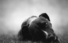 IMG015 (wolffriend333) Tags: nikkormat ilfordpanf hc110b opentopic blackandwhite film 35mm pitbull dog argo blackdog