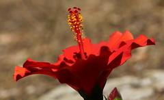 Trionfo (lincerosso) Tags: fiori flowers ibisco hybiscus colorerosso amore vita passione trionfodi bellezza armonia