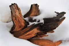 Stump in the Snow (arbyreed) Tags: arbyreed stump juniperstump snow close closeup texture woodgrain burried winter cold