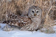 Barred Owl (NicoleW0000) Tags: barredowl strixvaria owl birdofprey bird wild wildlife winter snow