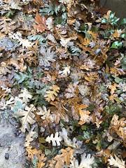 Oak Leaves (boxbabe86) Tags: wednesday nofilter wet rain january iphone8plus oakleaves oaktree nature leaves