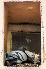 pigeonnidpetit (YassChaf) Tags: bird oiseau animal feather plumes pigeon dove tourterelle colombe montpellier window nest nid fenetre feeding nourrissage petit oisillon chick
