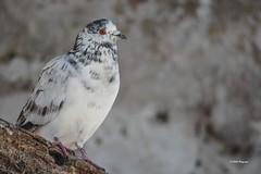 """""""Le pigeon du moulin"""" (leguen.maxime) Tags: oiseau animal pigeon race moulin hiver 2019 loiret loire olivet"""