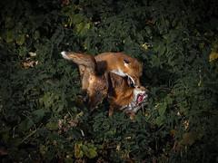 Cold war (mond.raymond1904) Tags: fox fight dublin dodder