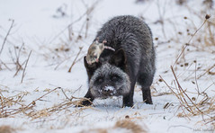 Silver Fox With Vole (Melissa M McCarthy) Tags: silverfox fox animal nature outdoor wildlife wild silver black grey gray hunting prey vole mammal playing action motion stjohns newfoundland canada canon7dmarkii canon100400isii