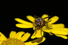 Happy Fly On Flower For Friday (Mark Wasteney) Tags: happyflydayfriday hfdf fly diptera insects fauna flower flora nature closeup wildlife