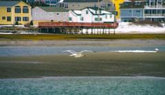 Cruisin' (Bud in Wells, Maine) Tags: wellsharbor gull dof pse niksoftware analogefexpro2 watercolor lightroom hss winter