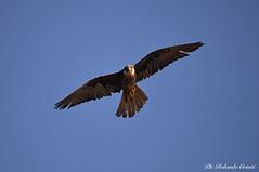 Falco della regina _011 (Rolando CRINITI) Tags: falco falcodellaregina uccelli uccello birds ornitologia avifauna rapaci carloforte sardegna isoladisanpietro natura