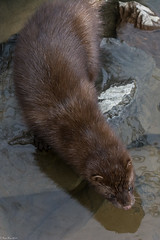 Hesitation (Fred Roe) Tags: nikond7100 nikonafsnikkor200500mm156eed nature naturephotography national animals wildlife wildlifephotography mammal mink americanmink neovisonvison colors flickr outside peacevalleypark