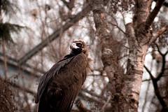 Monk Vulture #2 (Rolf Sch.) Tags: zoo ouwehand dierenpark wildlife autumn spring animals animal zoos nature rhenen monk vulture aegypius monachus bird prey tree forest