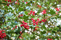 Festive tree (ekaterina alexander) Tags: festive tree holly european winter ilex spiky leaves evergreen red berries england sussex trees branch ekaterina alexander nature photography pictures green leaf