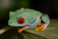 red eyes (jean-lucnehlig) Tags: nikon red eye rainette frog agalychnis callidryas agalychniscallidryas