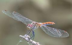 Dragonfly (Torok_Bea) Tags: d7200 dragonfly szitakötő macro nikon nikond7200 natur nature nikond nationalpark macroshot sigma sigma105 sigmalens sigma105mm summer