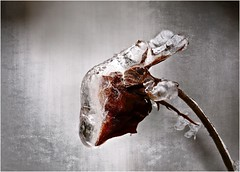 ...icy sculpture... (shallowcreek) Tags: fantasie winter rose eis makro