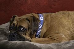 Brando - Where Does He Get The Energy? (Bill Gracey 22 Million Views) Tags: boxer dog brando portrait offcameraflash softbox yongnuo yongnuorf603n homestudio lakeside dogportrait bed look