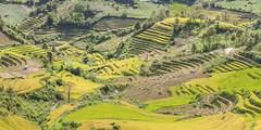 _J5K2354.0918.Dế Xu Phình.Mù Cang Chải.Yên Bái (hoanglongphoto) Tags: asia asian vietnam northvietnam northwestvietnam landscape scenery vietnamlandscape vietnamscenery vietnamscene terraces terracedfields seasonharvest hill hillside canon tâybắc yênbái mùcangchải dếxuphình phongcảnh ruộngbậcthang lúachín mùagặt ngọnđồi sườnđồi mùcangchảimùalúachín mùcangchảimùagặt cruve đườngcong abstract trừutượng canoneos1dsmarkiii canonef85mmf12liiusm terracesinvietnam harvestingseasonriceinvietnam 1x2 imagesize1x2